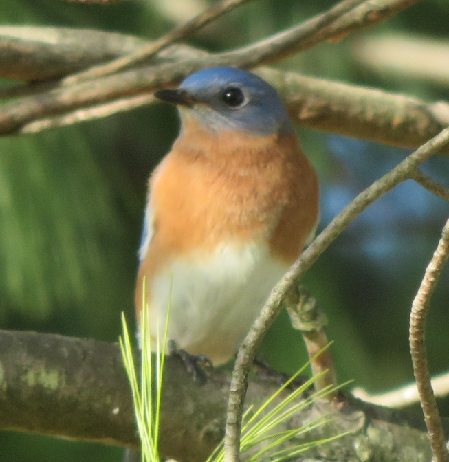 Bluebird in Pine Tree - Redgate Park, Rockville, MD