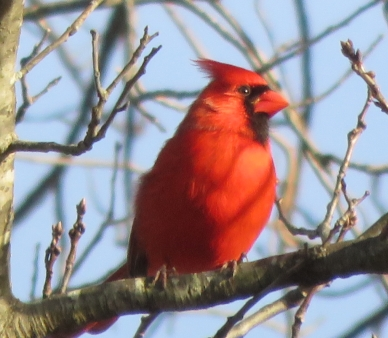 Cardinal in Tree at Redgate Park, Rockville, MD
